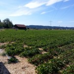 Erdbeerfeld Gelting